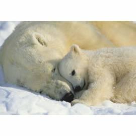 Фототапет Polar Bears, 1 част, 184х127 см